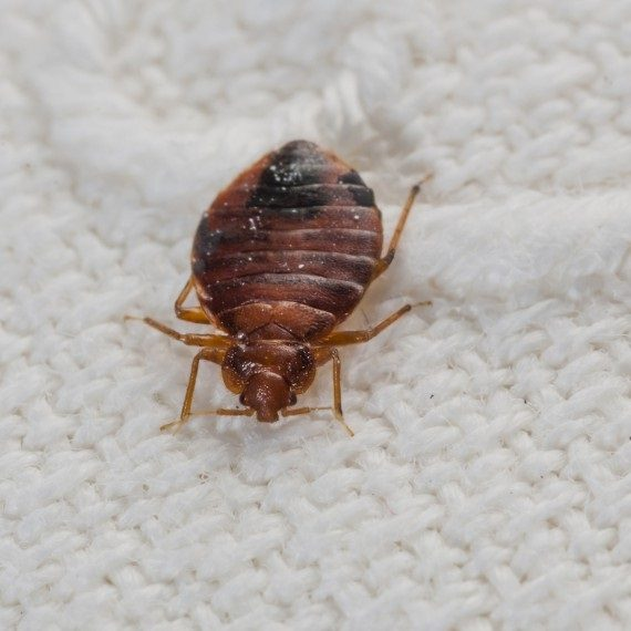 Bed Bugs, Pest Control in Harold Wood, Harold Hill, Noak Hill, RM3. Call Now! 020 8166 9746