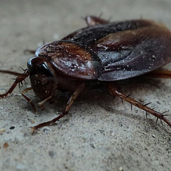 Cockroaches, Pest Control in Harold Wood, Harold Hill, Noak Hill, RM3. Call Now! 020 8166 9746