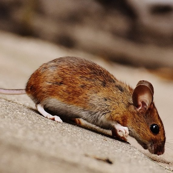 Mice, Pest Control in Harold Wood, Harold Hill, Noak Hill, RM3. Call Now! 020 8166 9746