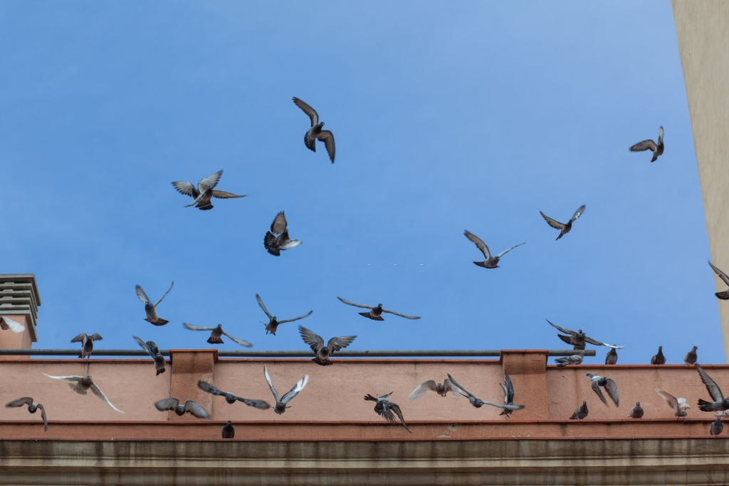 Pigeon Pest, Pest Control in Harold Wood, Harold Hill, Noak Hill, RM3. Call Now 020 8166 9746
