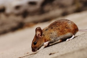 Mouse extermination, Pest Control in Harold Wood, Harold Hill, Noak Hill, RM3. Call Now 020 8166 9746